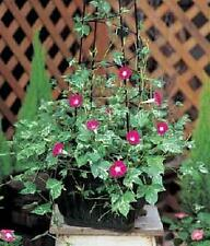 Morning Glory Ipomoea Cameo Elegance Annual Seeds