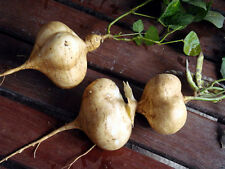 New MEXICAN SWEET POTATO SEEDS JICAMA YAM BEAN +Shipping.