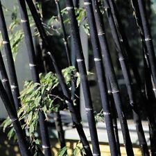 100Pcs GREEN Black Tinwa Phyllostachys Pubescens Moso-Bamboo Seeds Garden Plants