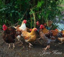 6+ Bantam Blue Laced Red Wyandotte Hatching Eggs NPIP