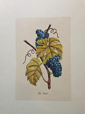 """Vitis Vinifera"" Printed in Italy Hand Coloured"