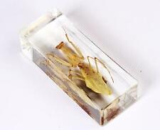 Real Big Cool Mantis Beetle Insect Specimens In Lucite Paperweight Crafts NG10