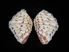 Giant Clam Shell Matched pair Bear Paw Hippopus hippopus 4 1/2 Inches