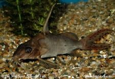 """(1) 4.5"""" Red Tail Squeaker Catfish Synodontis clarias WILD Live Fresh Tropical"""