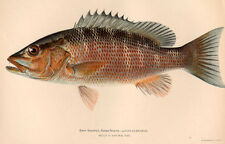 MANGROVE MANGO GRAY SNAPPER Saltwater Coral Reef Game Fish ~ Rare 1902 Art Print