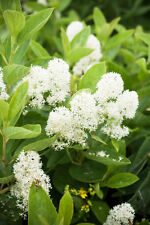 20 White NEW JERSEY TEA Hummingbird Flower Ceanothus Americanus Shrub Seeds
