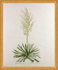 Yucca Filamentosa, from Les Liliacees Pierre-Joseph Redoute Pflanzen B A2 03106