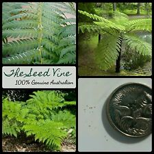 20+ LACY TREE FERN SPORES (Cyathea cooperi) Native Tropical Fast Growing