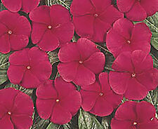 VINCA PACIFICA DARK RED** 25 SEEDS**