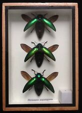 3 real green jewel beetles beetle wings display taxidermy insect entomology