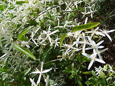 Old Mans Beard Seed Native Climber Clematis White Flowers Shade Loving Vine