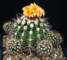 Parodia Ayopayana KK851 (10 SEEDS) Rare Cactus Samen Korn Semi 種子 씨앗 Семена