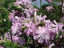 Seifen- Blume Samen/ Deko für innen & außen Außendeko Dekoration Balkon Terrasse