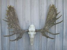 "NEW 60"" Alaska Bull Moose Antler Rack European Cast Mount Cabela's Taxidermy USA"