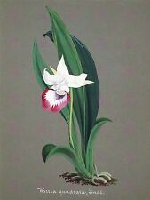 PAINTING BOOK PAGE ORCHID WARREA QUADRATA LARGE ART PRINT POSTER LF1498