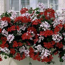IVY-LEAVED GERANIUM (Pelargonium Peltatum) 5 seeds (#1494)