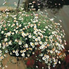 MEXICAN FLEABANE (Erigeron Karvinskianus) 150 seeds (#950)