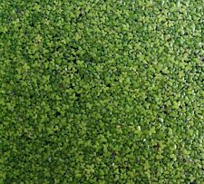 1000+ Duckweed - organically grown in aquarium - mailed with tracking