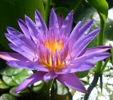 Water Lily - Purple (nymphaea capensis) 10 Reliable Viable Seeds