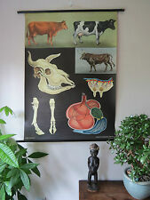 VINTAGE PULL DOWN ROLL DOWN ZOOLOGICAL JUNG KOCH QUENTELL SCHOOL CHART OF COWS