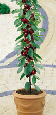 Cherry Tree Seeds - STANDARD - Miniature Fruit Tree -PRUNUS- Gmo Free - 10 Seeds