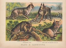 BOBCAT CANADIAN LYNX PERSIAN LYNX WILD CATS ANIMAL LITHOGRAPH ANTIQUE PRINT 1880