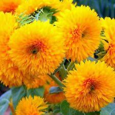 Flower seed - SUNFLOWER DWARF SUNGOLD, TEDDY BEAR SUNFLOWERS