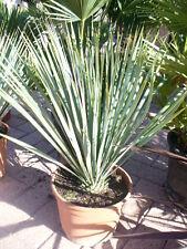 Yucca rostrata, Palmlilie, schöne Pflanze ca. 40cm hoch / Kombiversand erfragen