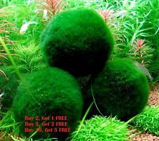 Giant Marimo Moss Ball (~2 Inches) Live Cladophora Moss Aquarium Shrimp Plant