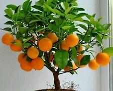 bonsai Mandarin Orange Bonsai Tree, seeds 7 (include maintain steps)