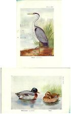Stampa antica UCCELLI AIRONE CENERINO GERMANO REALE anatre 1925 Old print birds