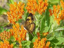 Butterfly Weed flowers (100 Seeds) Trouble free Perennial,attracts butterflies !