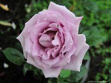 Edelrose Blue Girl ® Sautari ® NIRP, Dauvageot, 2008