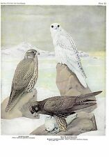 "1936 Vintage FUERTES BIRDS #50 ""GYRFALCON, BLACK, WHITE"" Color Plate Lithograph"