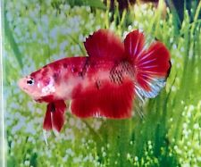 Thai Import Fancy Red KOI Marble Male HMPK Halfmoon Plakat Betta Live Fish