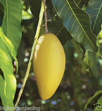 Live Mallika Mango Fruit Plant Healthy Live Plant in Pot