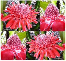 (5) RED TORCH GINGER PLANT SEEDS - Etlingera elatior EXOTIC & EDIBLE - Comb S&H