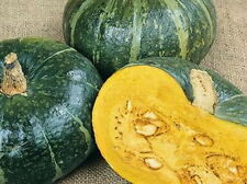 60 Burgess Buttercup Winter Squash Heirloom Seeds + Gift - FAST COMB S/H