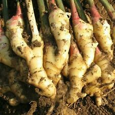 Rare ginger bonsai plant seeds, Imported 10 seeds / Pack