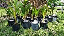 1 COCONUT PALM TREE  1 to 2  FEET  (YELLOW) EXOTIC PALM