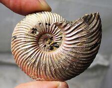 Fossil ammonite - Quenstedtoceras - Jurassic, Saratov, Volga River, Russia