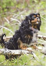 Where Did It Go?  Black and Tan Cavalier King Charles Spaniel blank note card