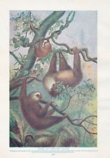 1910 NATURAL HISTORY PRINT DOUBLE SIDED ~ ELEPHANT / UNAUS SLOTHS ~ LYDEKKER