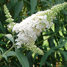 5 White Butterfly Bush - A Buddleia davidii White Profusion - Live Perennials