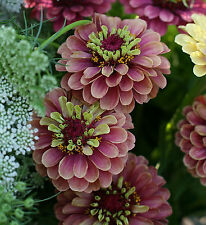15+ Seeds | QUEEN RED LIME Zinnia | FRESH Annual Flower Seeds