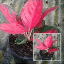 1 Aglaonema Plants Red leaves, Chinese evergreens, King Of Foliage plants