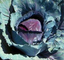 Heirloom RED ACRE CABBAGE Non-GMO❋2000 Seeds❋Early❋2-4 lb Heads❋Vegetable