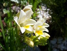 FREESIA ALBA - FRESIA BIANCA, 100 HIGH QUALITY SEEDS