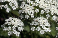 anise, LICORICE PLANT herb SEEDS, white flower, 40 seeds! GroCo*