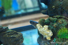 "Snowflake Moray Eel - Brackish Water Tropical Fish - ""Freshwater"" Moray Eel"